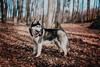 Husky (foxphotopl) Tags: dog dogs animal animals husky huskies siberian