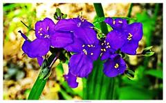 13928910083_36407ba107_o (grcolts) Tags: borderfx botanical flora grichardsmecom purple spiderwort texaswildflowers wildflowers