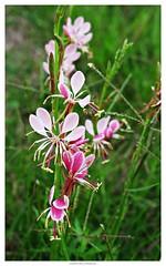 13905734366_1ac5237556_o (grcolts) Tags: borderfx botanical flora grichardsmecom gaura pink texaswildflowers white