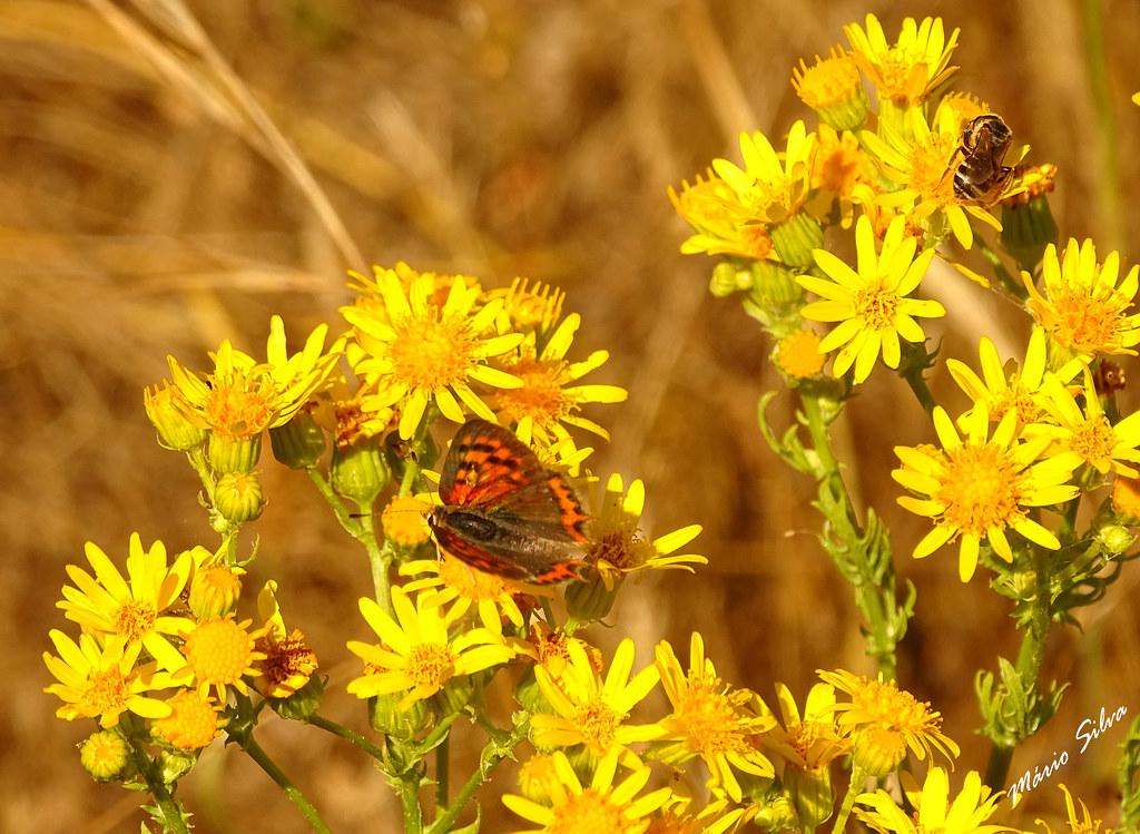 Águas Frias (Chaves) - ... boeboleta e abelha partilhando o polén das flores campestres de amarelo vivo ...