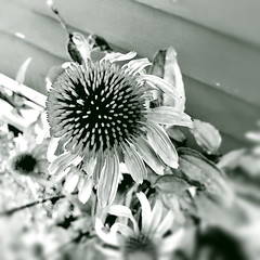 Reaching Out (77ahavah77) Tags: blackwhite blossom bloom flower maine outside nature