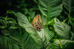 Owl Butterfly (Dannis van der Heiden) Tags: owlbutterfly butterfly wings leaves caligo bokeh shallowdeptoffield dof foliage nikond750 d750 lensbaby twist60 animal nature naturallight manualfocus