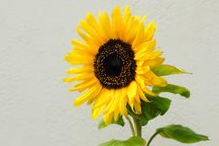 Photo of Sunflower Summer