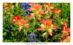 13905724272_f896b01826_o (grcolts) Tags: borderfx botanical flora grichardsmecom indianpaintbrush texaswildflowers wildflower