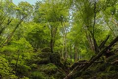 190818 AKOMENDI-GORRAMENDI 002 (MAVARAS) Tags: mavaras bosque akomendi navarra baztan verde green nature trees outside