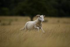 Ewe-sain bolt (Paul wrights reserved) Tags: sheep run running fast animal animals animalantics animalportrait farm action actionphotography