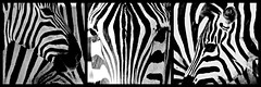 Tanzanie 2013 - Zèbres en Noir & Blanc (philippebeenne) Tags: tanzanie zèbres animal animaux sauvage wild black white noir blanc nb bw monochrome triptyque polyptyque collage mosaic