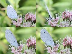 EOS 7D Mark II_089388_C (Gertjan Kamsteeg) Tags: animal invertebrate bug macro insect butterfly vlinder lycaenidae celastrinaargiolus hollyblue boomblauwtje