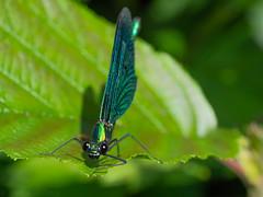 (Therese Østberg) Tags: øyenstikker dragonfly macro makro insekt insect olympus olympusomdm1mrk2 olympus60mm28 60mm norway norge hedmark