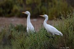 Esplugabous (Enllasez - Enric LLaó) Tags: aves aus bird birds ocells pájaros espectáculos garcillabueyera deltadelebre deltadelebro delta 2019