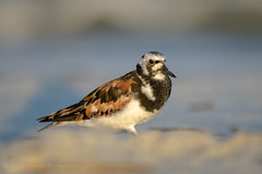 Ruddy Turnstone (Kevin James54) Tags: arenariainterpres nikon500mmpff56 nikond850 ruddyturnstone wilmington animals avian bird kevingianniniphotocom