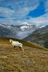 """Dessine moi un mouton, draw me a sheep..."" In the Furkapass. Canton of Valais & Uri. Switzerland. No, 2036. (Izakigur) Tags: nikon d7002470mmmf28 luz lumière light licht ضوء אור प्रकाश ライト lux światło свет ışık switzerland svizzera lasuisse lepetitprince thelittleprince ilpiccoloprincipe helvetia liberty izakigur flickr feel europe europa dieschweiz ch musictomyeyes nikkor suiza suisse suisia schweiz suizo swiss سويسرا laventuresuisse myswitzerland landscape alps alpes alpen schwyz suïssa d700 jakubjózeforliński"