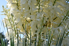 DSC_0653 (griecocathy) Tags: végétations fleur yucca boutons gouttelette eau feuille éclat brillance bleu blanc vert