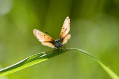 Lycaena virgaureae, valgetäpp-kuldtiib, scarce copper (elerinalbin) Tags: lycaena kuldtiib lepidoptera liblikalised putukad insecta insects insect