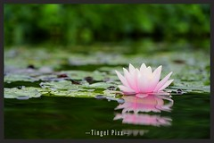Seerose (tingel79) Tags: seerose blume flower sea water wasser see natur nature germany sonya6500 photograph photographie photography foto art day outdoor