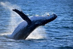 Play With Me ! (ISO 69) Tags: wal whale humpback humble sydney watching buckelwal jung spiel demütig sea wale tiere ozean ocean closeup jump sprung play with me explore wild baby beauty beautiful color meer natur fauna