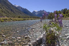 Eglington river (Joost10000) Tags: newzealand eglington river fiordland nationalpark southisland island pacific wild wilderness scenic summer canon canon5d eos flower riverbank mountains outdoors landscape landschaft natur nature oceania lupin