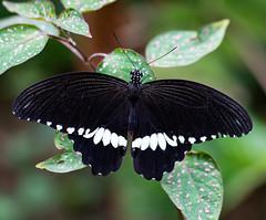 Butterfly (LuckyMeyer) Tags: makro green black insect butterfly schmetterling