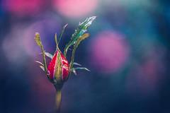 Rosebud (Ro Cafe) Tags: closed macromondays nikkor105mmf28 sonya7iii garden macro rosebud bokeh textured