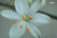It is not corn (AmenHopHis) Tags: macro wild white flowers botanical helios44m5 58mm bokeh