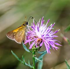 Up & Down (Portraying Life, LLC) Tags: cropapsc da3004 hd14tc k1mkii michigan pentax ricoh topazaiclear unitedstates closecrop handheld nativelighting skipper meadow ironweed nectar wild