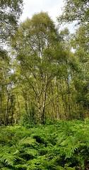 Birch trees in Puttenham Common, Surrey 2 (Leimenide) Tags: trees summer england tree green surrey common puttenham weald silver bracken birch