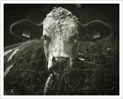 Im Land der schönen Kühe (Norbert Kaiser) Tags: tier kuh animal cow blackwhite schwarzweis hündle alm wiese weide allgäu