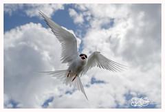 B57I2745-Arctic-Tern,-Sterna-paradisaea (duncancooke.happydayz) Tags: arctic tern farne islands british wildlife uk sea birds bird birdperfect birdlife sterna paradisaea red eye terns long nanny northumberland north east national trust reserve