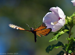 Monarch (Arvo Poolar) Tags: outdoors ontario canada scarborough rosettamcclaingardens arvopoolar nikond500 flowers butterfly monarchbutterfly wings nature naturallight natural naturephotography