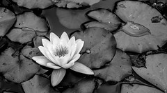 Encre. [Ink] (Adrien GOGOIS) Tags: flower water dark leaf nenuphar black white monochrome contrast nature close up e mount zoom kit sel lens 1855mm sel1855 drop