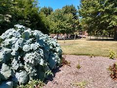 Sweet Marjoram (dankeck) Tags: lamiaceae chadwick chadwickarboretum ohiostate ohio osu theohiostateuniversity columbus centralohio franklincounty arboretum park urban