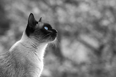 Orion (◄Laurent Moulin photographie►) Tags: chat siamois cat noir et blanc couleur oeil yeux bleus bleu blue eye black white with one color animal