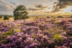 Sunset @ heather land (peter.f.van.der.werf) Tags: 24105mm a7riii sony hoogsoeren landscape sunset flower heather heide veluwe