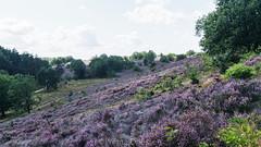 Mechelse Heide (Wildrie) Tags: nature natuur heide naturephoto natuurfotografie natuurpark hogekempen mechelseheide sonya77ii belgium belgie explore sonya explored sonyalpha