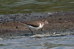 common sandpiper (DODO 1959) Tags: wildlife commonsandpiper avian birds fauna water wader nature outdoor animal canon 7dmk2 100400mmmk2 wales carmarthenshire llanelli wwt