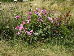 Wildflowers, Roe Green Park, Kingsbury (London Less Travelled) Tags: uk unitedkingdom britain england london northlondon brent barnet city urban suburb suburban suburbia suburbs park kingsbury flower flowers roegreen wildflowers