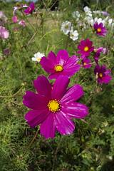 Purple Flowers, Roe Green Park (London Less Travelled) Tags: uk unitedkingdom britain england london northlondon brent barnet city urban suburb suburban suburbia suburbs park kingsbury flower flowers roegreen wildflowers
