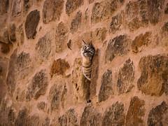 Cat_Wall (Christian Cardenal) Tags: wall cat summer holidays olympus em10iii
