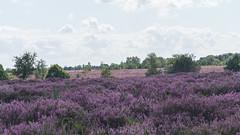 Mechelse Heide (Wildrie) Tags: nature belgium belgie natuur explore sonya heide naturephoto natuurfotografie natuurpark explored hogekempen sonyalpha mechelseheide sonya77ii