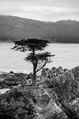 Lone Cypress B&W (Bob Nastasi) Tags: 17miledrive carmel lonecypress blackandwhite california bay z7 bobnastasi