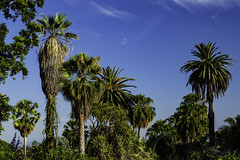 Pasadena Palms and Sky (Thad Zajdowicz) Tags: zajdowicz sanmarino california object availablelight lightroom canon eos 5dmarkiii 5d3 dslr digital outdoor outside usa thehuntingtongardens ef24105mmf4lisusm nature palms trees sky color green blue colour