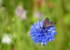 Six-spot burnet / Sint-jansvlinder (joeke pieters) Tags: 1480872 panasonicdmcfz150 sintjansvlinder bloeddropje zygaenafilipendulae sixspotburnet sechsfleckwidderchen blutströpfchen zygènedelaspirée vlinder butterfly schmetterling papillon korenbloem cornflower