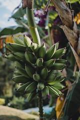 Green Banana (Joao Dordio) Tags: faded sintra lisbon country landscape rusty