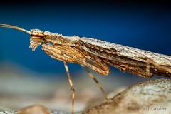 Mantis (jgruber111) Tags: mantodea mantid insect macro entomology mantis