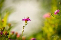 """""""Garden and the Guest"""" (Harold Hutchings Photography) Tags: bees bee flowers garden bokeh wildflower nature naturalworld planetearth earth insects insect canon7d canon300l peaceful"""