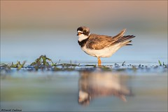 Semipalmated Plover. (Daniel Cadieux) Tags: semipalmatedplover plover adult breedingplumage shorebird ottawariver ottawa beach reflection