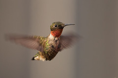 Hummer! (D.Leslie) Tags: hfg hamilton hummingbird ontario outdoors canon canada nature naturallight wildlife wings bird ruby
