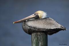 Just sitting and thinking!.....D800 (Larry Daugherty) Tags: pelican brownpelican animalia chordata aves pelecaniformes pelecanidae pelecanusoccidentalis poccidentalis shellbeachlouisiana louisiana stbernardparish southeastlouisiana nikond800 nikon d800 nikon500mmf4lens