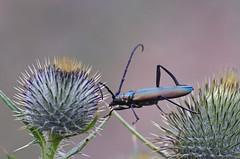 1-Muskussikk; Aromia moschata (urmas ojango) Tags: mardikalised coleoptera insects insecta beetles putukad muskussikk aromiamoschata