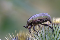 Kuldpõrnikas; Cetonia aurata (urmas ojango) Tags: mardikalised coleoptera insects insecta beetles putukad kuldpõrnikas cetoniaaurata